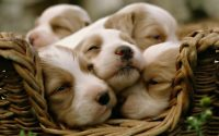 Cute puppies Wallpaper 2