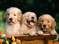 Cute puppies Wallpaper 11