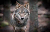 Wolf Wallpaper 44