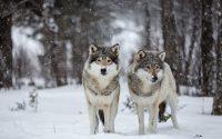 Wolf Wallpaper 6