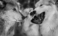 Wolf Wallpaper 7