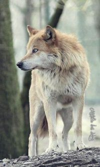 Wolf Wallpaper 35