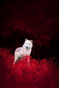 Wolf Wallpaper 37