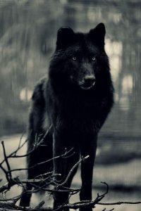 Wolf Wallpaper 13
