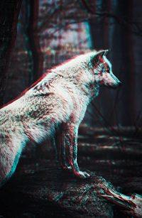 Wolf Wallpaper 3