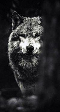 Wolf Wallpaper 23