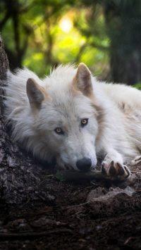 Wolf Wallpaper 18