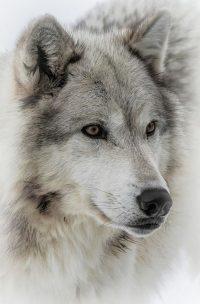 Wolf Wallpaper 26