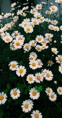 Flower Wallpaper 27
