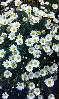 Flower Wallpaper 7