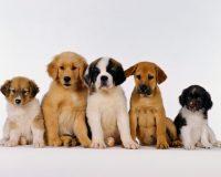 Puppy Wallpaper 38