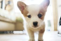 Puppy Wallpaper 27