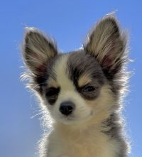 Puppy Wallpaper 22