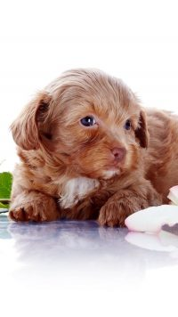Puppy Wallpaper 21