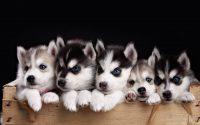 Puppy Wallpaper 13
