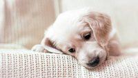 Puppy Wallpaper 9