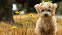 Puppy Wallpaper 4