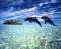 Dolphin Wallpaper 6
