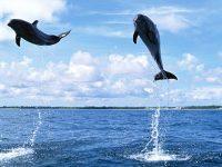 Dolphin Wallpaper 3