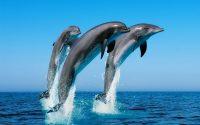Dolphin Wallpaper 14