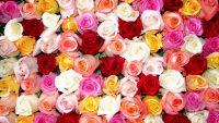 Roses Wallpaper 36