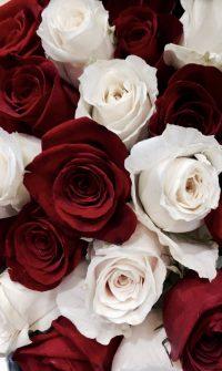 Roses Wallpaper 32