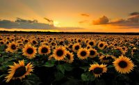 Sunflower Wallpaper 11
