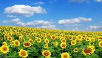 Sunflower wallpaper 14