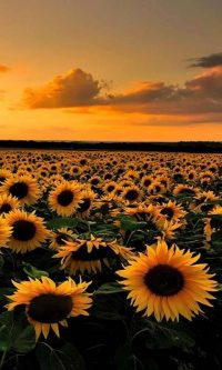 Sunflower Wallpaper 9