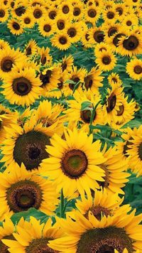 Sunflower Wallpaper 8