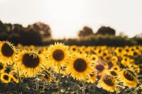 Sunflower Wallpaper 7
