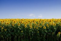 Sunflower Wallpaper 6