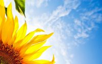 Sunflower Wallpaper 3