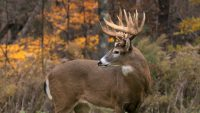 Deer Mullet Wallpaper 10