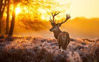 Deer Mullet Wallpaper 9