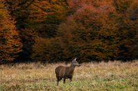 Deer Mullet Wallpaper 7