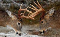 Deer Mullet Wallpaper 3