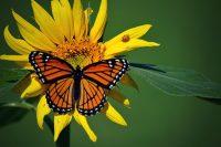 Butterfly Wallpaper 14