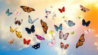 Butterfly Wallpaper 16