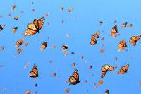 Butterfly Wallpaper 17