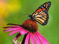 Butterfly Wallpaper 19