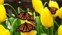 Butterfly Wallpaper 5