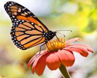 Butterfly Wallpaper 20