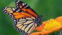 Butterfly Wallpaper 21