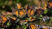 Butterfly Wallpaper 24