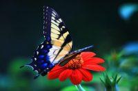Butterfly wallpaper 26