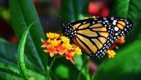 Butterfly Wallpaper 6