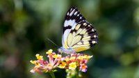 Butterfly Wallpaper 9