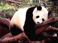Panda Wallpaper 8