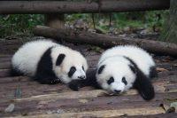 Panda Wallpaper 9